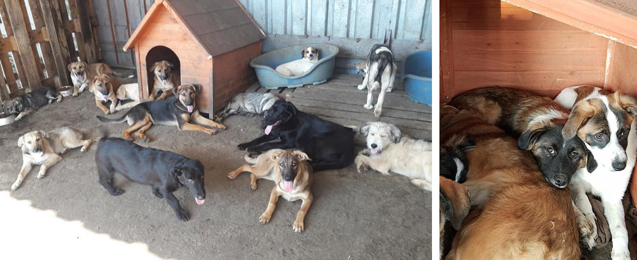 Romania rescue dogs