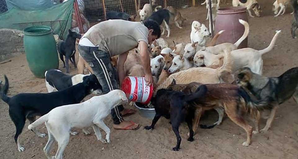 Animal rescuer feeding multiple dogs in egypt.